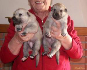 """Cucciole """"E"""" Ezechielelupo"""