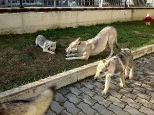 """Cuccioli della cucciolata """"D"""" Ezechielelupo"""