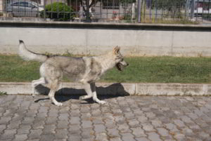 """Cuccioli della cucciolata """"E"""" Ezechielelupo"""