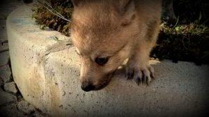 Cuccioli G allevamento del cane lupo cecoslovacco Ezechielelupo