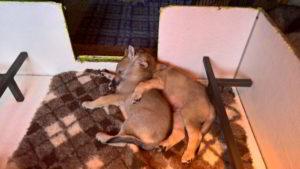 Cuccioli I Ezechielelupo