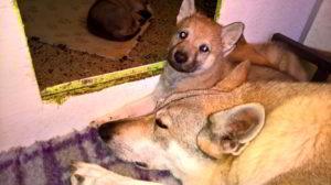 Cuccioli della cucciolata I dell'allevamento Ezechielelupo