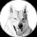 Allevamento cane lupo cecoslovacco Daisy Jane Ezechielelupo