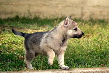 Cucciolo Ezechielelupo